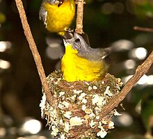 Eastern Yellow Robins, Lamington NP, Autsralia by David Woolcock