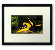 Male Regent Bower Birds Framed Print