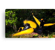 Male Regent Bower Birds Canvas Print