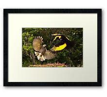 Pair of Regent Bower Birds, Lamington NP,Australia Framed Print