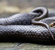 Black-Bellied Swamp Snake, Hemiaspis signata by Normf