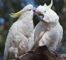 "Sulphur-crested Cockatoos ~ ""I love you too"" by Robert Elliott"