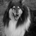 Smiling Collie by CitC