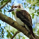 Kookaburra >> by JuliaWright