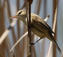 Reed Warbler by Gary  Davey (Jordy2010)
