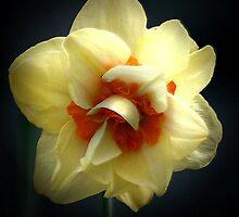 daffodil enhanced by wolf6249107