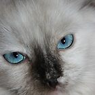 Ragdoll Kitten by Joe Norman