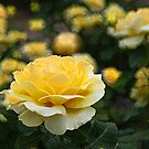 Yellow Rose by Aase