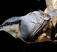 nuthatch caught red handed or in this case black beaked by Grandalf