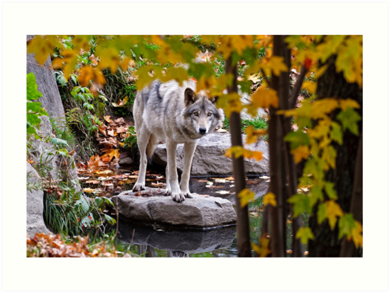Timber Wolf by Pond by Michael Cummings