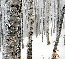 Birch Forest, Rusutsu, Hokkaido, Japan by Mike Banks
