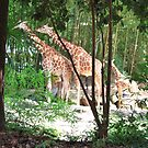 Giraffes at Riverbank by Chelei
