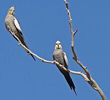 Cockatiels ~ Freedom Is by Robert Elliott