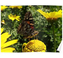 Australian Painted Lady Butterfly (Vanessa kershawi) - Adelaide, Australia Poster