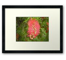 Single Callistermon Framed Print