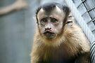 Capuchin Monkey by Leanne Allen
