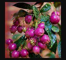 Berry Pink.... by GerryMac