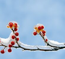 Frozen Berries by lamiel