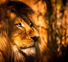 Magestic Pride - Adelaide Zoo by Michelle Singleton