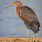 A sad sight to see - Tricolored Heron by Chris Heising