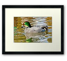 Falcated Duck Framed Print