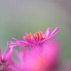 Fade to Pink by Bluecornstudios