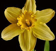 Yellow by hampshirelady