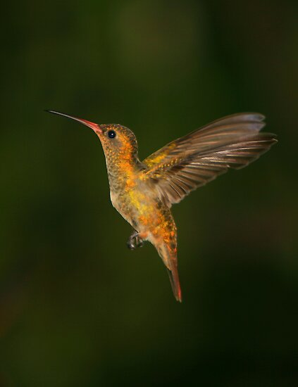 Male Gilded Hummingbird by naturalnomad