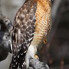 Red-shouldered Hawk by naturalnomad