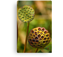 Lotus Seed Pods Canvas Print