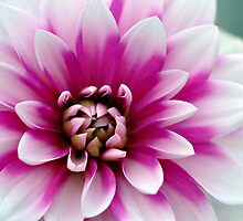 Oh my Dahlia !  by Shubd