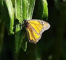 Monarch Butterfly with eggs (Danaus plexippus) by Dan & Emma Monceaux