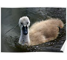 Young Cygnet Poster