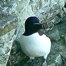 Razorbill by Trevor Kersley