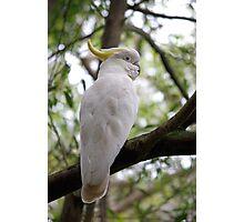 White Parakeet  Photographic Print