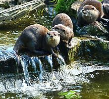 Group Of Small Otters from Escot, Ottery St Mary Devon by lynn carter