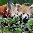 Red Pandas by Alastair Faulkner