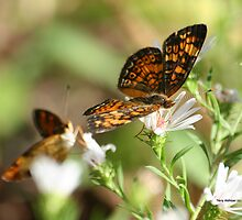 Soft Porn Pearl Crescent Butterflies by Terry Aldhizer