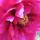 Ruffled pink petals by georgiegirl