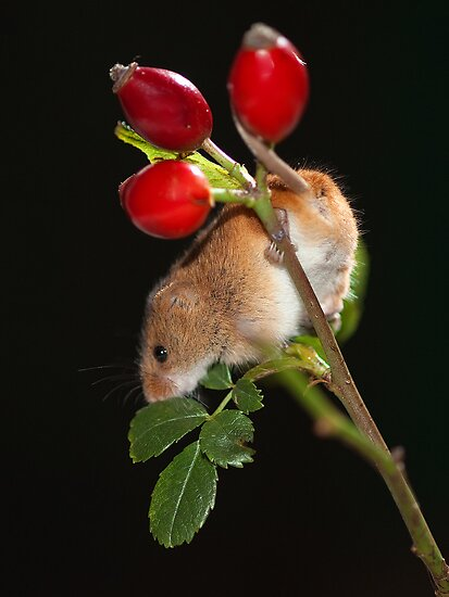 Rose Hip Mouse by Norfolkimages