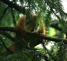 Curious red squirrel by Tarolino