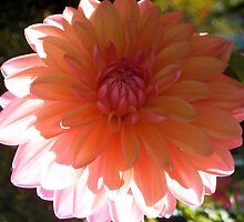 Dahlia in Bloom by Jeri Garner