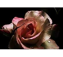 Blushing Rose Photographic Print