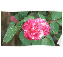 Speckled Rose Poster