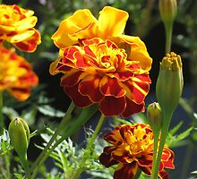 Marigolds by art2plunder