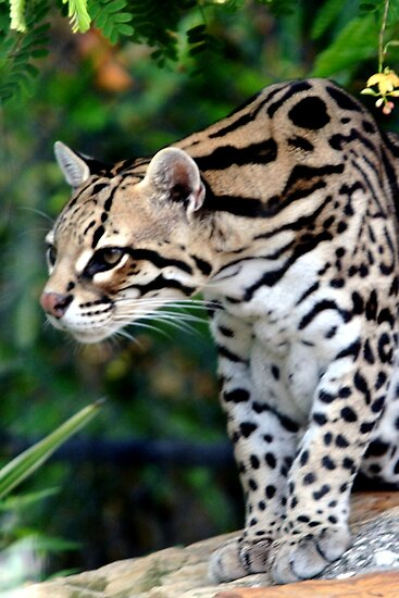 Ocelot at Naples Zoo by Sheryl Unwin