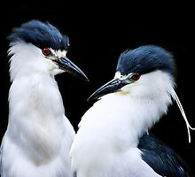 Pair of Black Crowned Night Heron's by Paulette1021