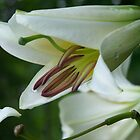 Elegant Lily  by Sarah Edmonds