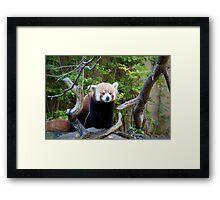 Red Panda Framed Print