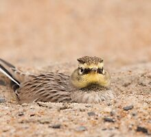 Horned Lark hiding from predators by Daniel Cadieux